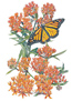 Butterfly Flower Milkweed Seeds
