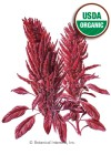 Amaranth Burgundy Organic HEIRLOOM Seeds
